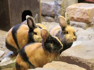 Japaner Kaninchen